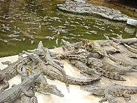 Crocodile farm in Momabasa 3.jpg