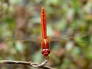 <i>Crocothemis</i> genus of insects