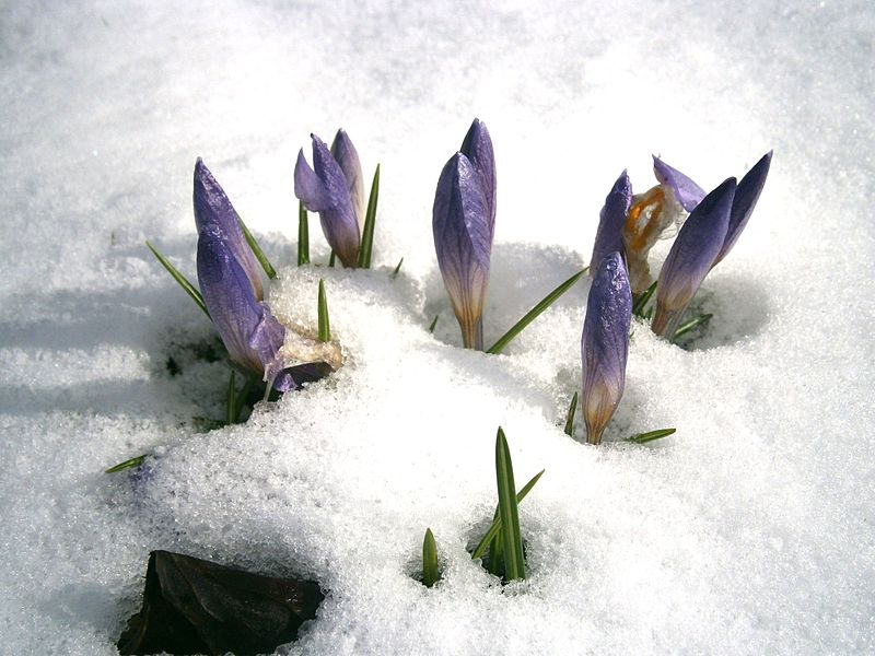 File:Crocus etruscus in snow.jpg