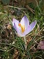Crocus vernus seedling.JPG