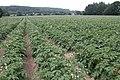 Crop of Potatoes near Whitney-on-Wye - geograph.org.uk - 192414.jpg