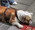 Crouching bulldog (8218654493).jpg