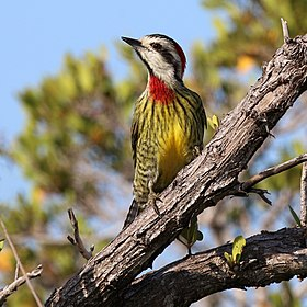 Cuban green woodpecker (Xiphidiopicus percussus percussus) female.JPG