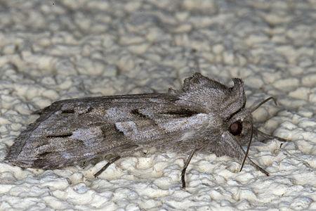 Cucullia fraudatrix, Lodz(Poland)03(js).jpg