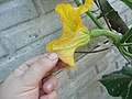 Cucurbita moschata (zapallo espontáneo) flor F01 antesis pétalos envés (abaxial) nerviación mucrón.JPG