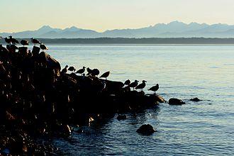 Clinton, Washington - Gulls at Cultus Bay