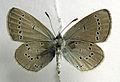 Cupido minimus ventral.jpg
