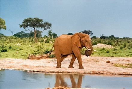An elephant at a water hole in Hwange National Park. Curled trunk.jpg