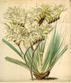 Curtis's Botanical Magazine, Plate 4291 (Volume 73, 1847).png