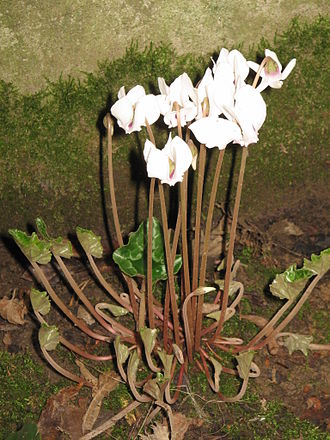 Cyclamen hederifolium - Growth habit