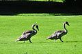 Cygnus olor - Zürich - Enge - Arboretum 2010-09-01 16-09-48.JPG
