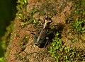 Cylindera dromicoides 4.jpg