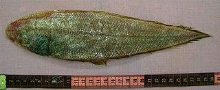 <i>Cynoglossus arel</i> species of fish