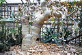 Cyphostemma juttae - Botanischer Garten, Dresden, Germany - DSC08911.JPG