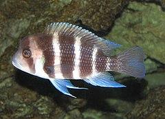 Llista de peixos de Z?mbia - Viquipedia, lenciclopedia lliure