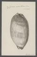 Cypraea exanthema - - Print - Iconographia Zoologica - Special Collections University of Amsterdam - UBAINV0274 088 02 0012.tif