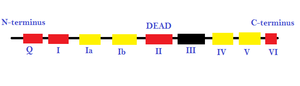 Helicase -  This image represents the different promoter sequences and accessory domains that aid in RNA unwinding (local strand separation). The regions in red are ATP binding domains and the regions in yellow are RNA interaction domains. Specific sequences termed DEAD box proteins are also present that help catalyze reactions in which ATP does not need to be directly hydrolyzed, as long as it binds to the domains on the strand.