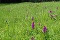 Dactylorhiza cordigera subsp. cordigera kz07.jpg