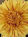Dahlia - Indian Botanic Garden - Howrah 2012-01-29 1787.JPG