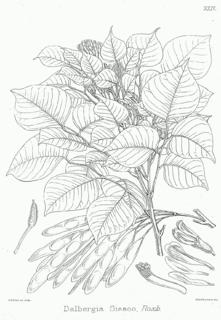 <i>Dalbergia</i> genus of plants