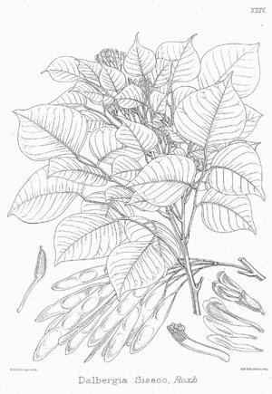 Dalbergia sissoo - Image: Dalbergia sissoo Bra 24