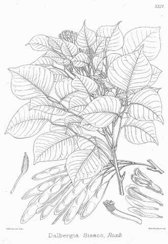 Dalbergia - Sissoo or Indian Rosewood (Dalbergia sissoo)