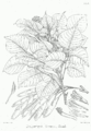 Dalbergia sissoo Bra24.png