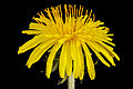 Dandelion, side 2013-04-11-13.56.41 ZS PMax (8646533282).jpg