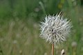 Dandelion in 3-Creeks Natural Area, OR.jpg