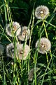 Dandelion seed heads on the road to Norrkila 2.jpg