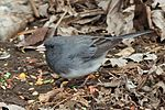 Dark-eyed junco 4754.jpg