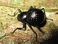 Darkling beetle (7912732148).jpg