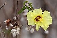 Darwin's-cotton-flower.jpg