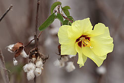 Darwin's-cotton-flower.jpg