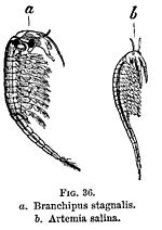 FIG. 36. a. Branchipus stagnalis. b. Artemia salina.
