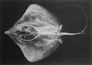 Pale-edged stingray - The pale-edged stingray is diamond-shaped, with a notably elongated snout.