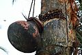 Date Palm Sap Collection - Taki - North 24 Parganas 2015-01-13 4733.JPG