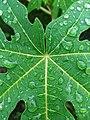 Daun Carica papaya.jpg