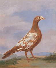 Red pied carrier
