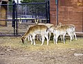 Deer, The Magnetic Hill Zoo, Moncton, New Brunswick, Canada (26592601278).jpg