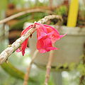 Dendrobium lawesii-IMG 5482.jpg