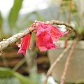 Dendrobium lawesii-IMG 5483.jpg