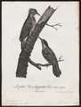 Dendropicus cardinalis - 1796-1808 - Print - Iconographia Zoologica - Special Collections University of Amsterdam - UBA01 IZ18700181.tif