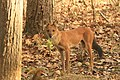 Dhole or Wild dog (68).jpg