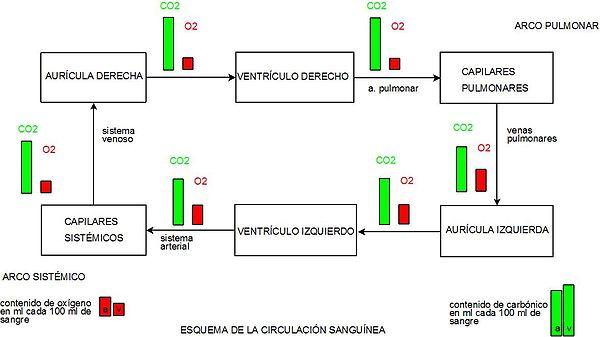 Anatomía/Aparato Circulatorio - Wikilibros