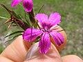 Dianthus armeria flower4 (13834460063).jpg