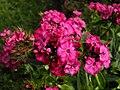 Dianthus barbatus 5.JPG