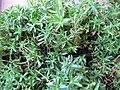 Dianthus deltoides 01.jpg
