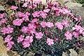 Dianthus gratianopolitanus 2.jpg