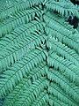 Dicksonia squarrosa leaf 01 by Line1.JPG